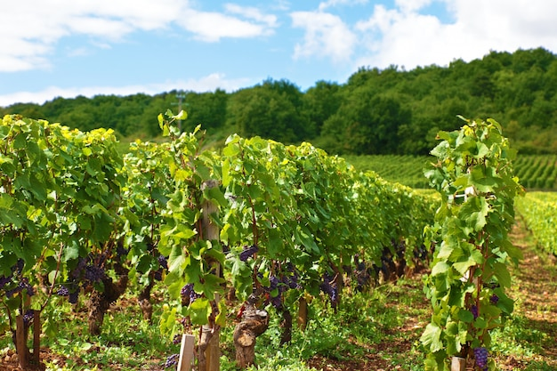 Vigneto il vino rosso in francia Foto Gratuite