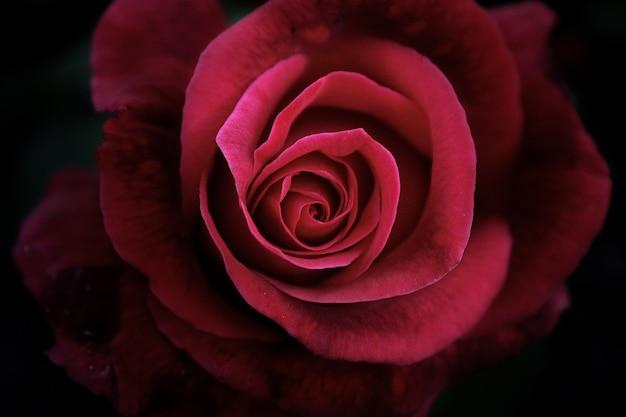 Vista alta di fine del bello fiore su fondo scuro Foto Premium