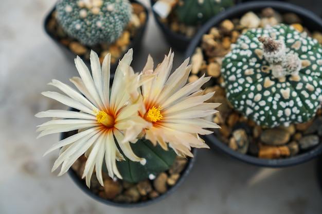 Vista dall'alto di cactus Foto Premium