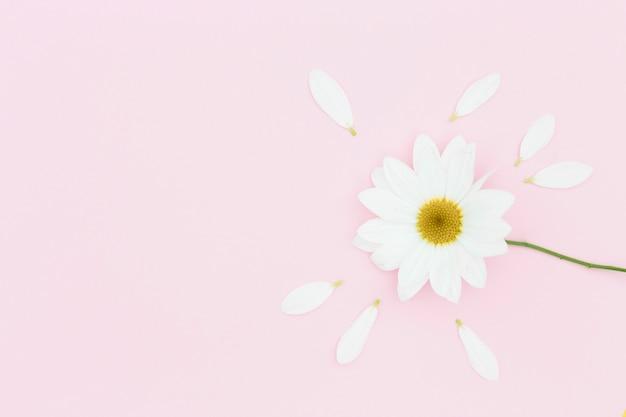 Vista dall'alto margherita bianca su sfondo rosa Foto Gratuite