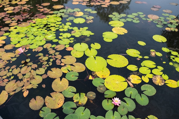 Vista dall'alto paesaggio di stagno di loto. colorato dello stagno di loto Foto Premium