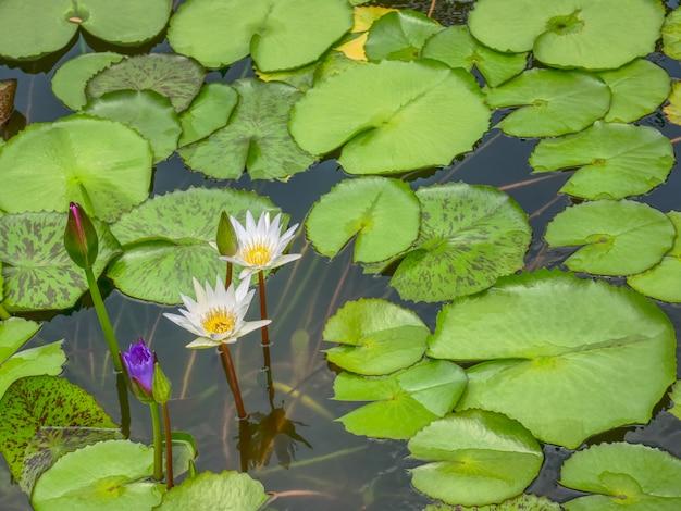 Vista dell'angolo alto dei fiori di loto bianchi nello stagno Foto Premium
