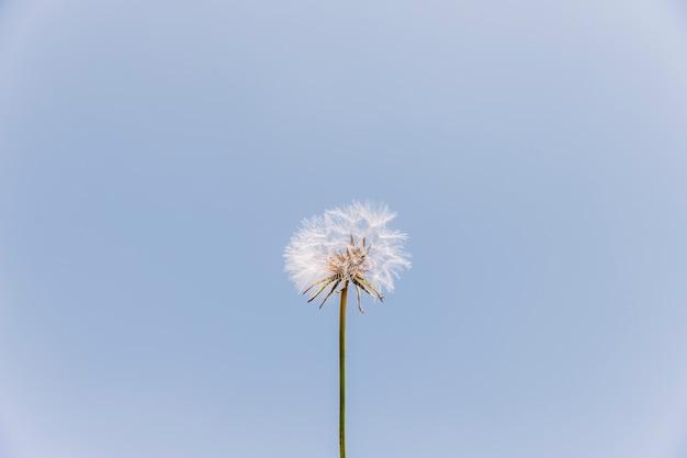 Vista di angolo basso di un fiore del dente di leone contro il chiaro cielo Foto Gratuite