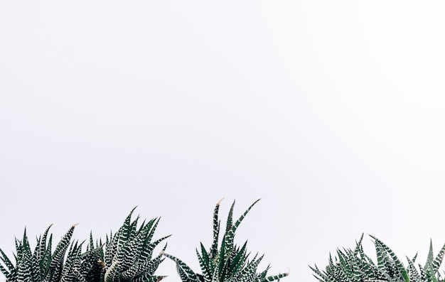 Vista di piccole piante di cactus zebra Foto Gratuite