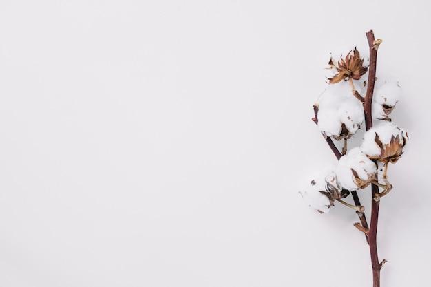 Vista elevata del ramoscello di cotone su sfondo bianco Foto Gratuite