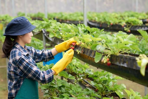 Vista laterale dell'agricoltore femminile che raccoglie fragola in una serra commerciale Foto Gratuite