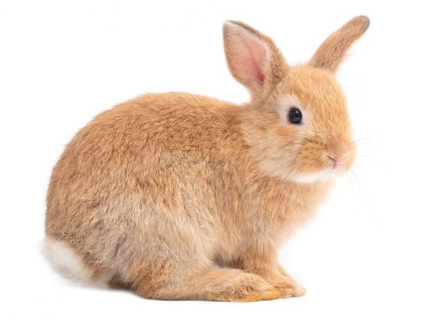 Vista laterale di coniglio sveglio marrone-rosso isolata su fondo bianco. Foto Premium