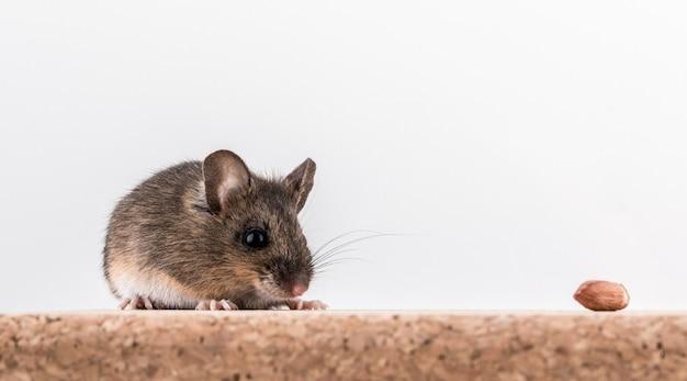 Vista laterale di un topo di legno, apodemus sylvaticus, seduto su un mattone di sughero con sfondo chiaro, annusando alcune noccioline Foto Premium