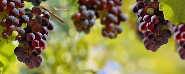 Vista panoramica sull'uva nera che cresce nell'illuminazione della vigna dal sole Foto Premium