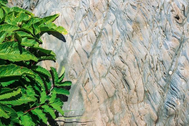 Vividi foglie di heracleum e sanguisorba officinalis sulla roccia scistosa al sole. struttura dettagliata della superficie della pietra della montagna con ricca vegetazione nella fine del sole su. sfondo soleggiato. vola su foglia. Foto Premium