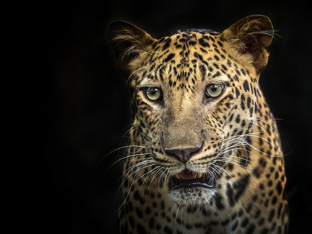 Volto di leopardo sullo sfondo nero Foto Premium