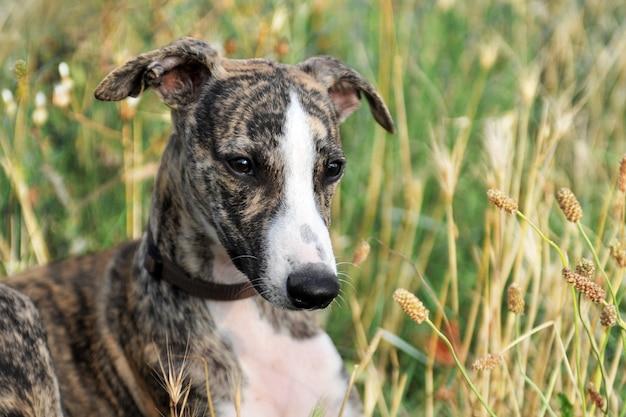 Whippet del cucciolo che sta nell'erba Foto Premium