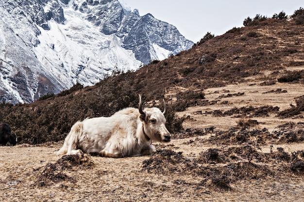 Yak e montagne Foto Premium