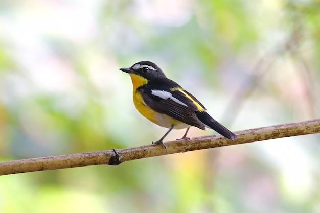 Zanthopygia dalla groppa gialla di ficedula del pigliamosche bei uccelli maschii della tailandia Foto Premium
