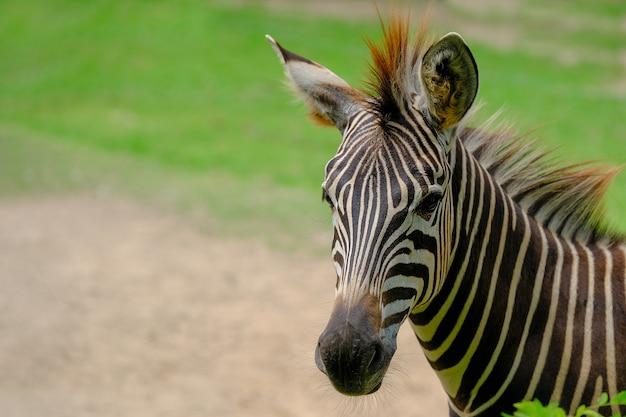 Zebra in una riserva naturale della fauna selvatica Foto Premium