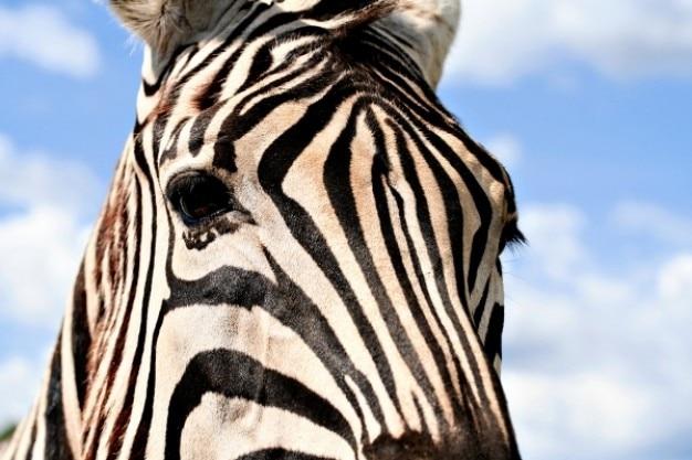Zebra O Cebra Yahoo Zebra profilo | Scaric...