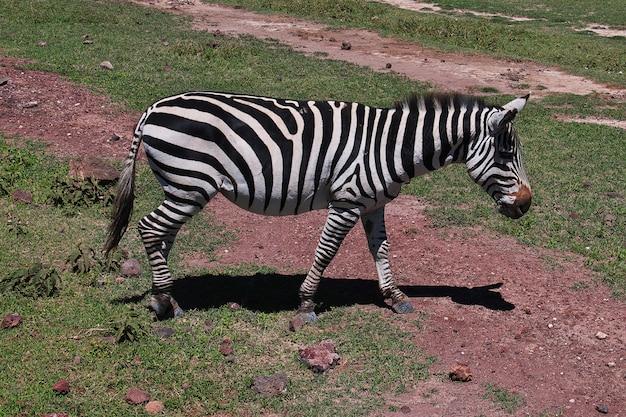 Zebra su safari in kenia e tanzania, africa Foto Premium