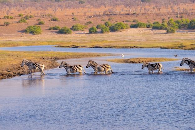 Zebre che attraversano il fiume chobe. Foto Premium