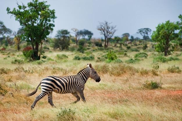 Zebre nella savana Foto Premium