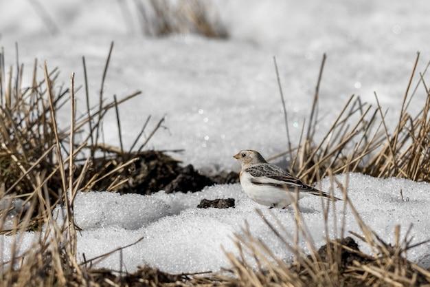 Zigolo delle nevi, plectrophenax nivalis, seduto nella neve su un campo in primavera Foto Premium
