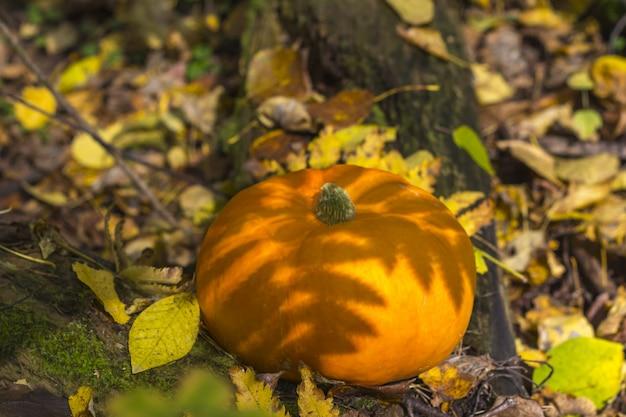 Zucca del raccolto di caduta su un'erba verde all'aperto. composizione autunnale. giorno del ringraziamento e Foto Premium