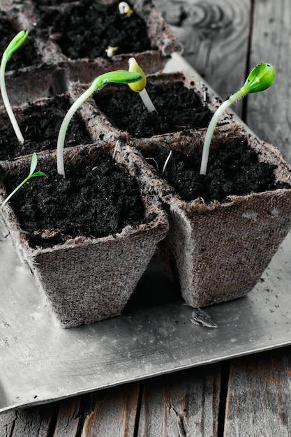 Zucca germogliare primavera. Foto Premium