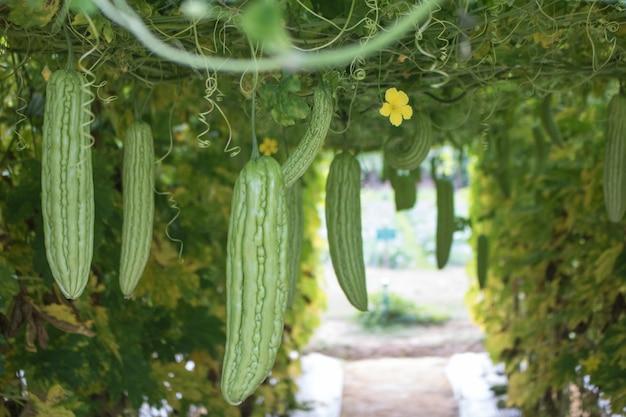 Zucca verde in giardino pronto a raccogliere con lo spazio della copia Foto Premium