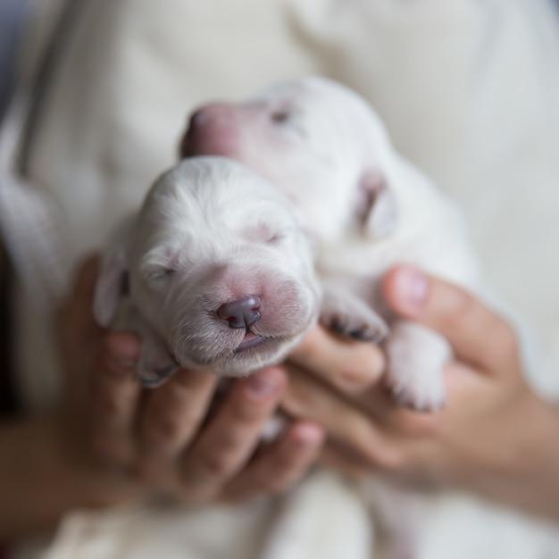 2 filhotes recém-nascidos de um golden retriever estão nas mãos femininas Foto Premium