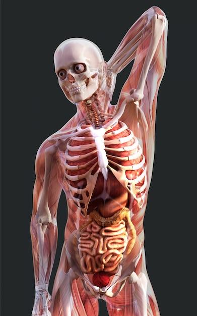 3d, ilustração, de, um, esqueleto masculino, músculo, sistema, osso, e, sistema digestivo, com, caminho cortante Foto Premium