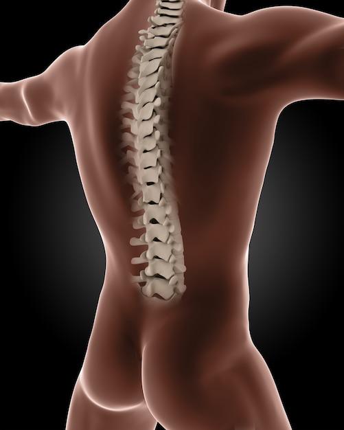 3d rendem de um esqueleto médico do sexo masculino com um close-up na parte de trás Foto gratuita