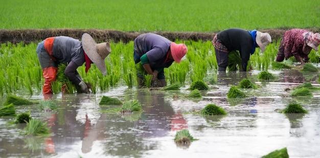 4 agricultores estão plantando arroz, transplantando mudas de arroz Foto Premium
