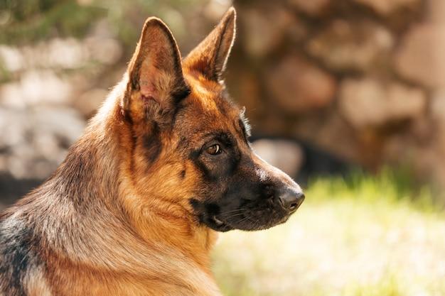 Cão pastor alemão esportes caninos