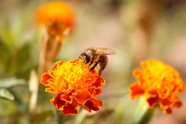 A abelha senta-se no cravo-de-defunto da flor da laranja Foto Premium
