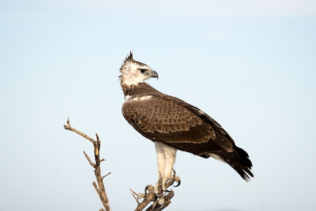 A águia marcial no parque nacional de etosha, namíbia. uma grande águia nativa na áfrica do sul Foto gratuita