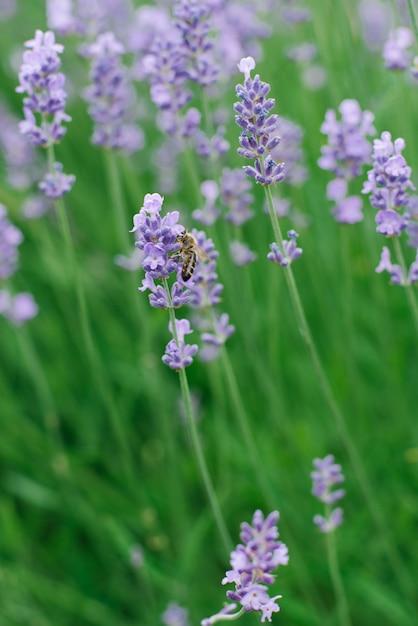 A alfazema lilás delicada floresce no jardim no verão. uma abelha está sentada em uma flor de lavanda. foco seletivo Foto Premium