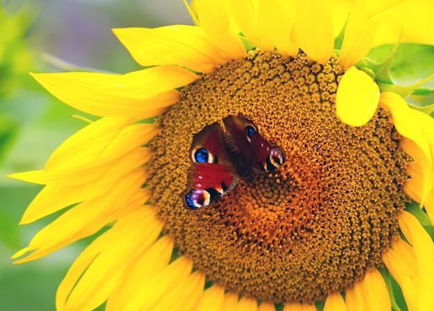 A borboleta do olho do pavão que senta-se na flor de um girassol. Foto Premium