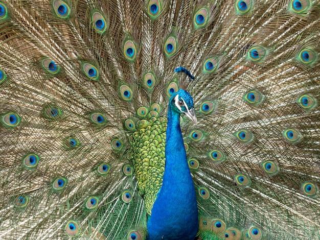 A cabeça colorida do pavão espalhou a pena, fim acima. Foto Premium