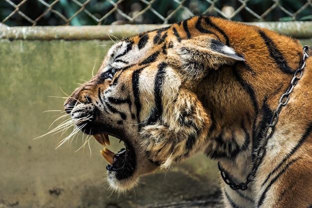 A cabeça do tigre está rugindo, ao lado. Foto Premium