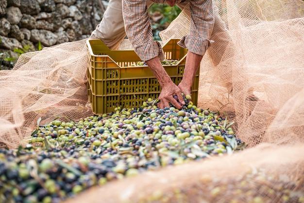 A colheita sazonal de azeitonas em apúlia, sul da itália Foto Premium