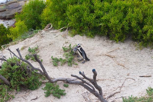 A colônia de pinguins africanos na península do cabo em boulders beach Foto Premium