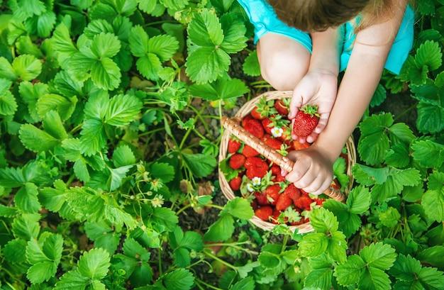 A criança recolhe morangos no jardim. foco seletivo. Foto Premium