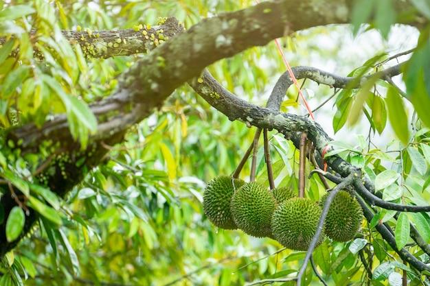 A durian está pronta para colher os produtos na árvore, esperando que os comerciantes comprem e exportem para a china. Foto Premium