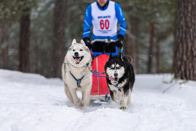 A equipe de cães de trenó ronca no chicote de fios corre e puxa o motorista do cão. corridas de cães de trenó. competição de campeonato de esporte de inverno. Foto Premium
