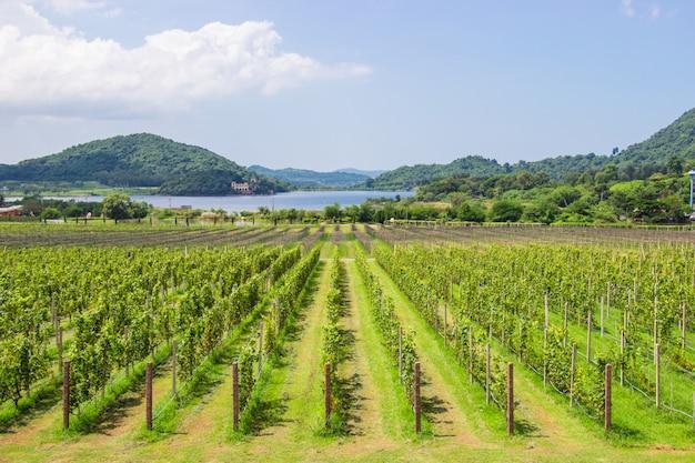 A exploração agrícola e o jardim da uva no lago próximo e na montanha são destino popular do turista de pattaya. Foto Premium