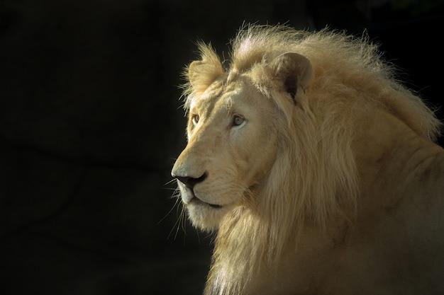 A face do macho branco do leão em um fundo preto. Foto Premium