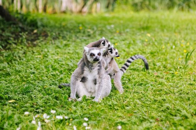 A família do lêmure de cauda anelada está sentada na grama. lêmure catta olhando para a câmera. lindos lêmures cinza e brancos. animais da africa no zoológico Foto Premium