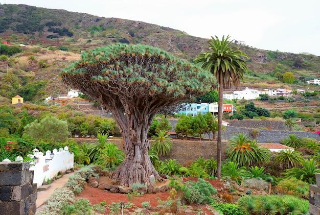 A famosa árvore de dragão em icod de los vinos, tenerife, ilhas canárias Foto Premium