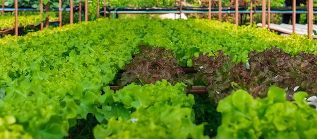 A fazenda de cultivo de vegetais hidropônicos orgânicos em rural. Foto Premium