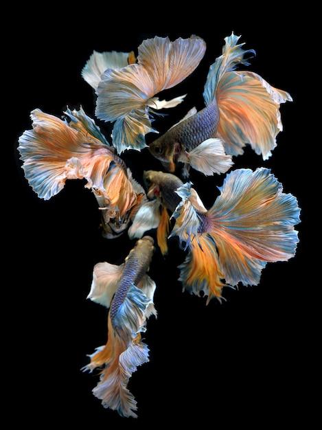 A flor das barbatanas caudas de betta misturada Foto Premium