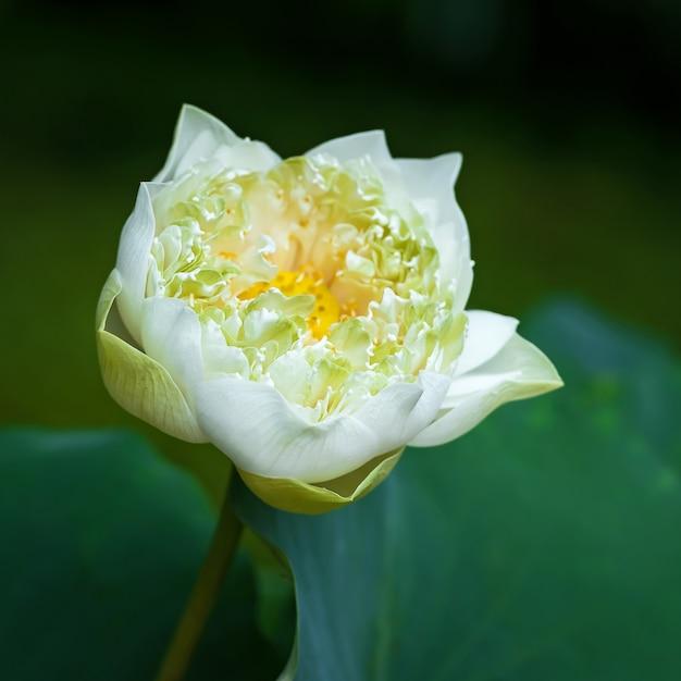 A flor de lótus branca bonita nos jardins. Foto Premium